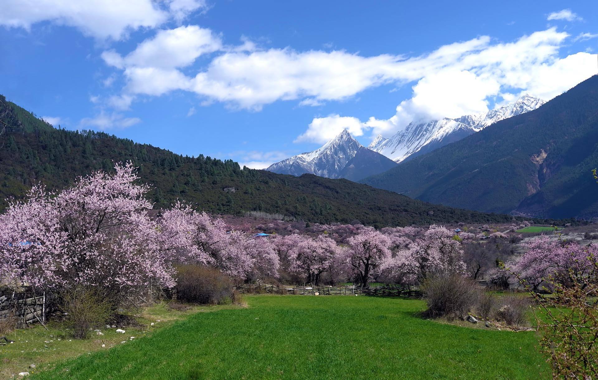 """每年的林芝桃花节举办的时候,满山的桃花开遍,别有""""西藏江南""""的味道."""